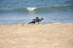 Corvos na praia Foto de Stock Royalty Free