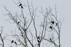 Corvos no ramo da parte superior da árvore imagens de stock royalty free