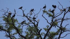 Corvos no ramo, rebanho do voo, multidão de corvo na árvore, pássaro preto, fim acima video estoque