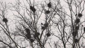 Corvos nos ninhos na árvore vídeos de arquivo