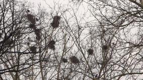 Corvos nos ninhos na árvore video estoque