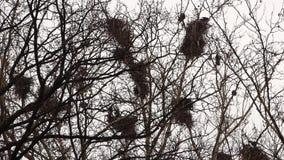 Corvos nos ninhos na árvore filme