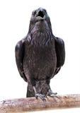 Corvos pretos Imagens de Stock Royalty Free