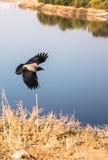 Corvos pretos que voam sobre o lago azul Fotografia de Stock Royalty Free