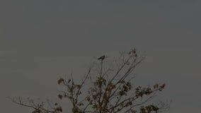 Corvos que aterram em uma árvore video estoque