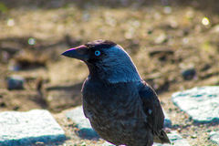 A corvus bird. Sitting on a stone Royalty Free Stock Photos
