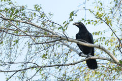 Corvus corax, Common Raven Royalty Free Stock Images