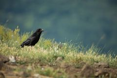 Corvus corax. The wild nature of Bulgaria. Free nature. A beautiful picture of nature. Rhodopes. Mid-sized bird. Mountains in Bulg. Aria. European wildlife royalty free stock images