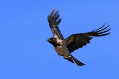Corvus cornix. Crow close-up in the sky. Corvus cornix. Hooded crow in flight against a blue sky Stock Photography