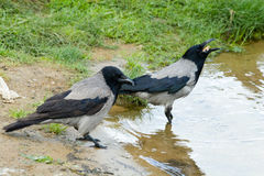 Corvus cornix, Hooded Crow Royalty Free Stock Images