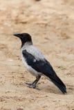 Corvus cornix, Hooded Crow Stock Images
