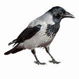 Corvus Cornix, Hooded Crow. Royalty Free Stock Photography