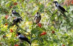 Corvus cornix, Hooded Crow. Royalty Free Stock Photos