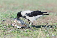 Corvus cornix, Hooded Crow. Royalty Free Stock Photos
