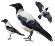 Corvus cornix, Kraai Met een kap Royalty-vrije Stock Afbeeldingen
