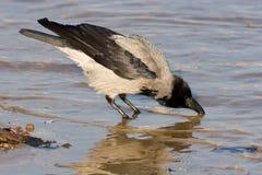 Corvus cornix, mit Kapuze Krähe Lizenzfreie Stockfotografie