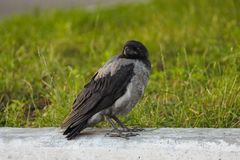 Young  Corvus cornix in european city royalty free stock image