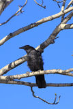 Corvus corone Stockfoto