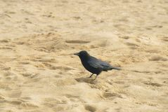 Corvus Corone on an English beach. Carrion Crow or Corvus corone scavenging for scraps on Huttoft beach in Lincolnshire, UK Stock Images