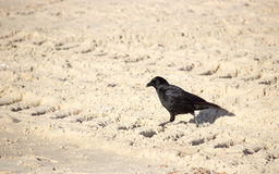 Corvus corone Royalty Free Stock Photography