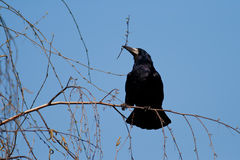 Corvus frugilegus. A specimens of Corvus frugilegus, Rook, photographed in nature gathering branches for the nest stock photography