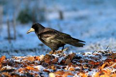 Corvus frugilegus foraging on ground Stock Photo