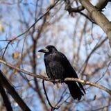 corvus frugilegus gawron obraz royalty free