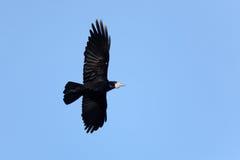 Corvus frugilegus, Rook. Royalty Free Stock Images