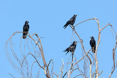 Corvus frugilegus, Rook. Royalty Free Stock Image