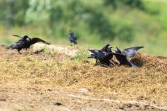 Corvus frugilegus, Rook. Stock Photography