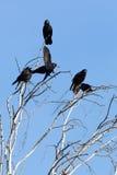 Corvus frugilegus, Rook. Stock Image