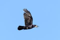 Corvus frugilegus, Rook. Royalty Free Stock Photo