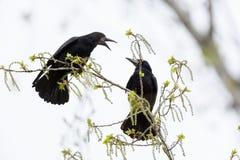 Corvus frugilegus, Rook. Stock Photos
