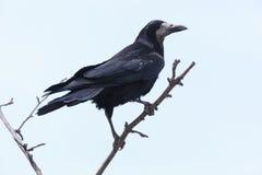 Corvus frugilegus, Rook. Royalty Free Stock Photos