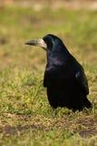 Corvus frugilegus, Turm Lizenzfreies Stockbild