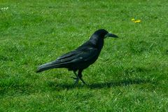 Corvus frugilegus - typical English ravens and crows. The path to Stonehenge - UNESCO World Heritage Site. Beautiful view of green hills and blue sky with stock photography