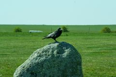 Corvus frugilegus - typical English ravens and crows. The path to Stonehenge - UNESCO World Heritage Site. Beautiful view of green hills and blue sky with royalty free stock photography