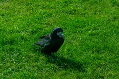 Corvus frugilegus - typical English ravens and crows. The path to Stonehenge - UNESCO World Heritage Site. Beautiful view of green hills and blue sky with royalty free stock photos