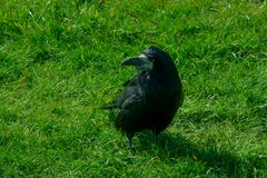 Corvus frugilegus - typical English ravens and crows. The path to Stonehenge - UNESCO World Heritage Site. Beautiful view of green hills and blue sky with stock photos