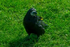 Corvus frugilegus - typical English ravens and crows. The path to Stonehenge - UNESCO World Heritage Site. Beautiful view of green hills and blue sky with royalty free stock image