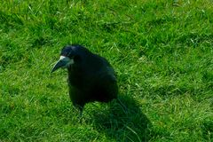 Corvus frugilegus - typical English ravens and crows. The path to Stonehenge - UNESCO World Heritage Site. Beautiful view of green hills and blue sky with stock image