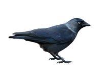 corvus kawki jackdaw monedula Zdjęcie Royalty Free