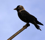 Corvus monedula Stock Image