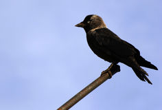 Corvus monedula Stock Images
