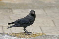 Corvus monedula, Jackdaw Royalty Free Stock Image