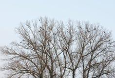 Corvus monendula Zdjęcia Royalty Free