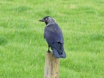corvus zielonego jackdaw łąkowy monedula odprowadzenie Obrazy Royalty Free