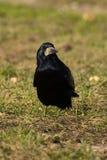 corvusfrugilegusråka fotografering för bildbyråer