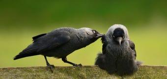 Corvusmonedula in liefde Royalty-vrije Stock Foto