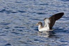 Cory的海鸥类飞鸟(Calonectris diomedea borealis) 库存图片